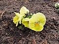Flowers - (PL) Bratek (16992514328).jpg