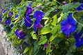 Flowers in Ein Hod (511057120).jpg