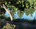 Ford Park, Ducks Under Tree, Redlands, CA 8-12 (7831988246).jpg