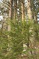 Forest 1891.jpg