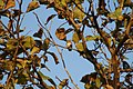 Forest Owlet (Heteroglaux blewitti) camouflged in the dry foliage of a Teak tree..jpg