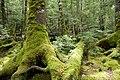 Forest in Yatsugatake 35.jpg