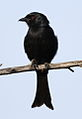 Fork-tailed Drongo, Dicrurus adsimilis, at Pilanesberg National Park, South Africa (15863316357).jpg