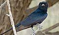 Fork-tailed Drongo (Dicrurus adsimilis) (6446845729).jpg