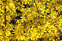 Forsythia close-up 2