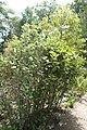 Fothergilla gardenii Mt. Airy 4zz.jpg