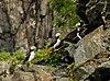 Frailecillos corniculados (Fratercula corniculata), Bahía de Aialik, Seward, Alaska, Estados Unidos, 2017-08-21, DD 83.jpg