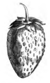 Fraise des Alpes Vilmorin-Andrieux 1883.png
