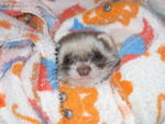 A ferret wrapped in a blanket.