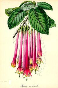 Fuchsia macrantha - Paxton