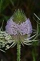Fuller's Teasel (Dipsacus fullonum) - Kitchener, Ontario.jpg