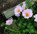 Furano flowers (7662401488).jpg