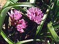 G20080312-2041--Allium cratericola--RPBG (13458187985).jpg