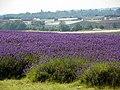 GOC Ickleford 008 Lavender (7795132574).jpg