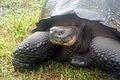 Galápagos tortoise Santa Cruz Island Galápagos Ecuador DSC00238 ed ad.jpg