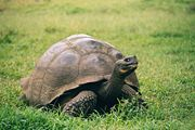 Galapagos Geochelone nigra porteri.jpg