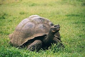 Galápagos-Riesenschildkröte (Chelonoidis nigra porteri)