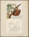 Galeopithecus rufus - 1700-1880 - Print - Iconographia Zoologica - Special Collections University of Amsterdam - UBA01 IZ19700101.tif