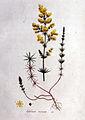 Galium verum — Flora Batava — Volume v1.jpg