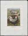 Gallus ferrugineus - 1700-1880 - Print - Iconographia Zoologica - Special Collections University of Amsterdam - UBA01 IZ17000065.tif