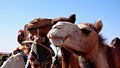 Gamelua - Camel - Saharauiak.jpg