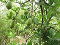 Gardenia gummifera 012.JPG