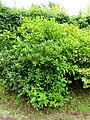 Gardenia jasminoides - Urban Greening Botanical Garden - Kiba Park - Koto, Tokyo, Japan - DSC05306.jpg
