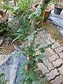 Gardenology.org-IMG 7186 qsbg11mar.jpg
