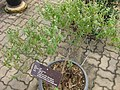 Gardenology.org-IMG 8063 qsbg11mar.jpg