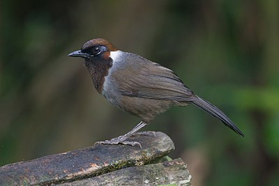 White-necked laughingthrush