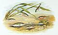 Gasterosteus aculeatus 1879.jpg