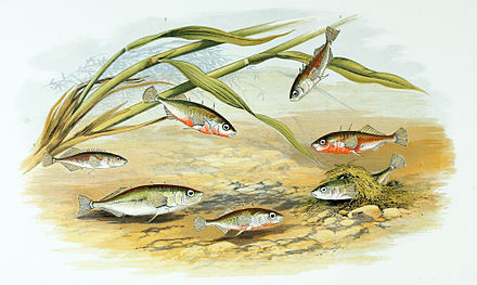 Three-spined stickleback males (red belly) build nests and compete to attract females to lay eggs in them. Males then defend and fan the eggs. Painting by Alexander Francis Lydon, 1879 Gasterosteus aculeatus 1879.jpg