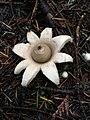Geastrum saccatum 28733618.jpg