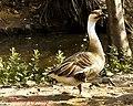 Geese (6903377384).jpg