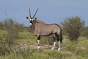 Gemsbok (Oryx gazella) male.jpg