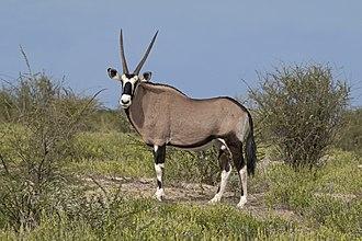 Gemsbok - male, Etosha National Park, Namibia