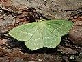 Geometra papilionaria - Large emerald - Большая зелёная пяденица (39126903340).jpg