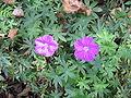 Geranium sanguineum002.jpg