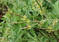Geranium sylvaticum kz01.jpg