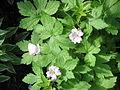Geranium versicolor01.jpg