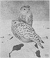Gerhard Heilmann - A pair of snowy owls.jpg