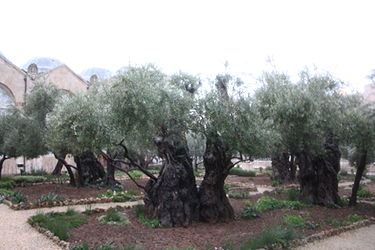 Gethsemane, Jerusalem in the rain.jpg