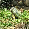 Giant Green Iguana.jpg