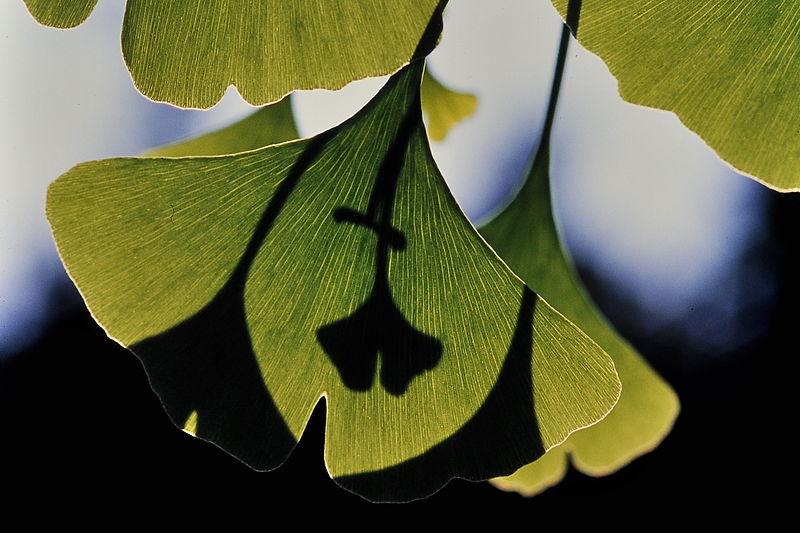 File:Ginkgo biloba in summer.jpg