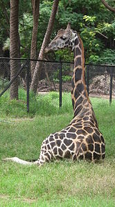 Giraffa camelopardalis from Nehru Zoological park Hyderabad 4366.JPG