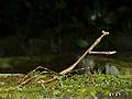 Giraffe Mantis (Euchomenella heteroptera) female (15658204601).jpg