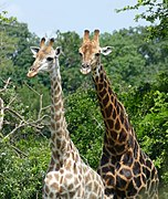 Giraffes (Giraffa camelopardalis) female and male (Right) ... (45720313065).jpg
