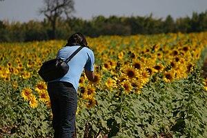 Dutch Brazilians - A sunflower field in Holambra