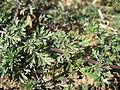 Glandularia aristigera leaf2 (14910663683).jpg