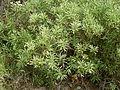 Globularia salicina (Puntallana) 07 ies.jpg